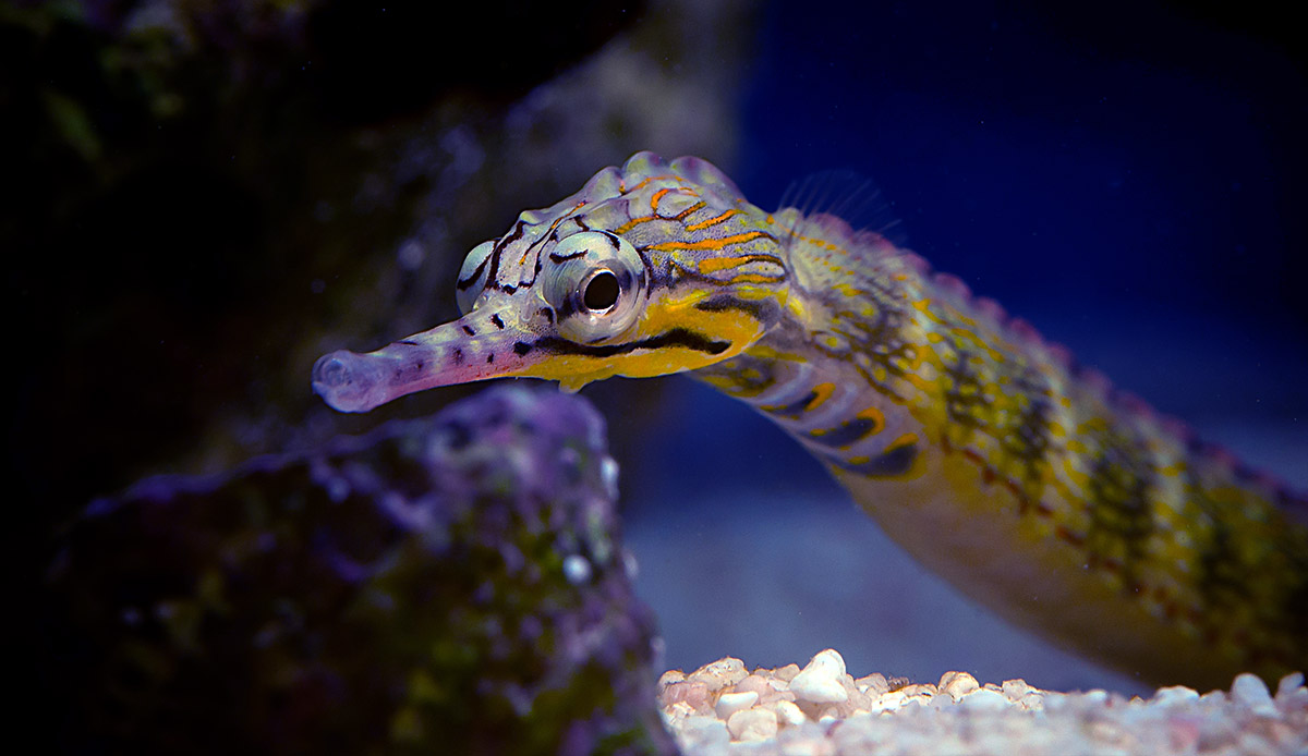 Corythoichthys-instinalis-Scribbled-Pipefish-2-Aaron-Down.jpg